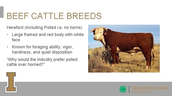 BEEF CATTLE BREEDS Hereford (including Polled i. e. no horns) • Large framed and