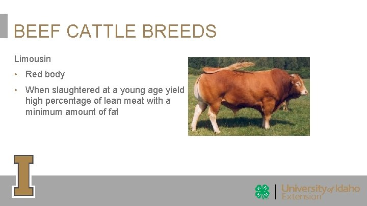 BEEF CATTLE BREEDS Limousin • Red body • When slaughtered at a young age