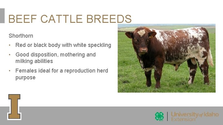 BEEF CATTLE BREEDS Shorthorn • Red or black body with white speckling • Good