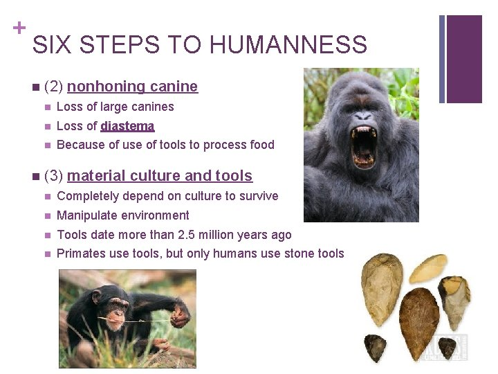+ SIX STEPS TO HUMANNESS n n (2) nonhoning canine n Loss of large
