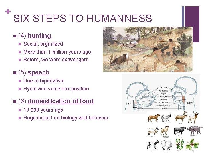 + SIX STEPS TO HUMANNESS n n n (4) hunting n Social, organized n