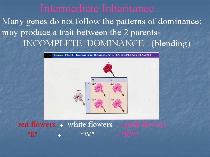 Intermediate Inheritance Many genes do not follow the patterns of dominance: may produce a