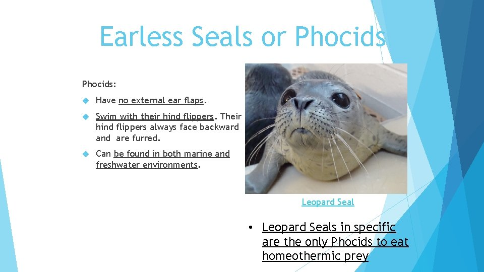 Earless Seals or Phocids: Have no external ear flaps. Swim with their hind flippers.