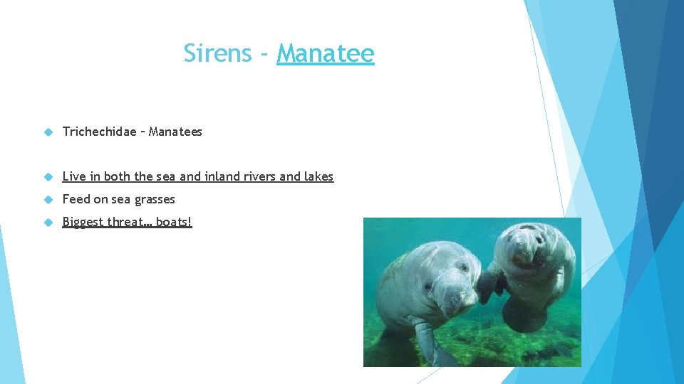 Sirens - Manatee Trichechidae – Manatees Live in both the sea and inland rivers
