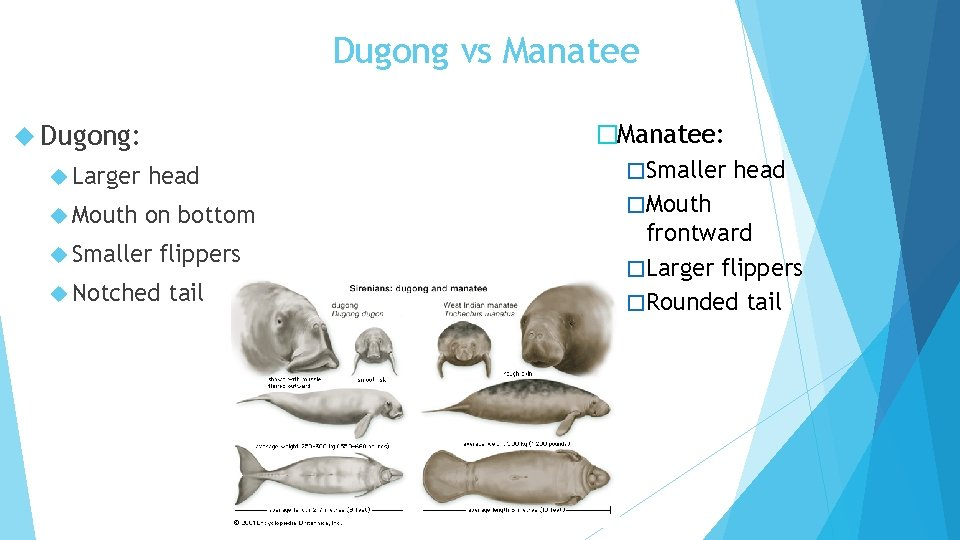 Dugong vs Manatee Dugong: Larger head Mouth on bottom Smaller flippers Notched tail �Manatee: