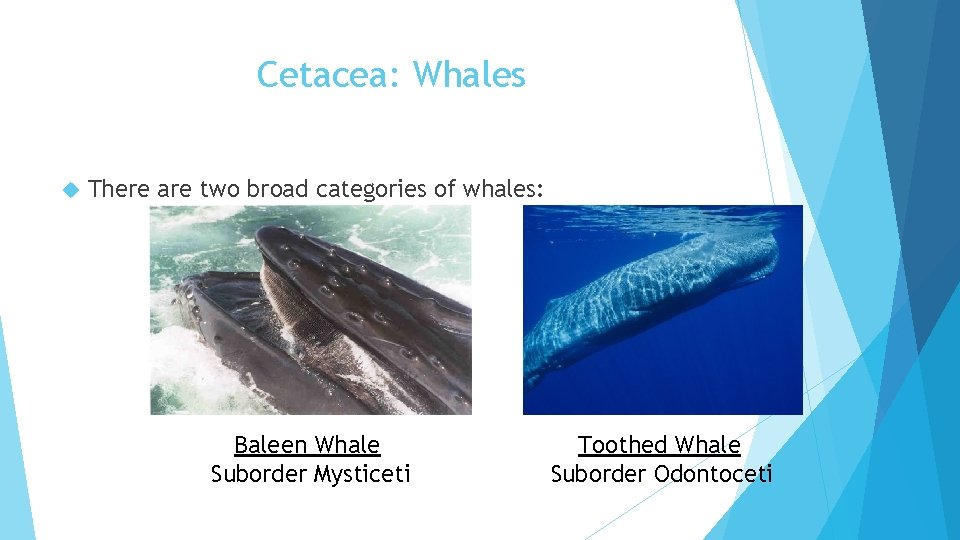 Cetacea: Whales There are two broad categories of whales: Baleen Whale Suborder Mysticeti Toothed