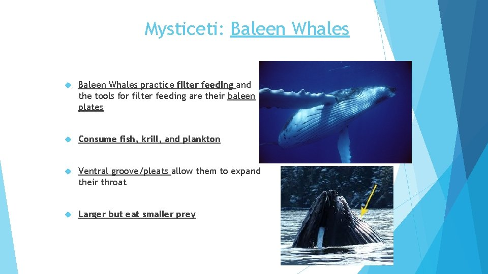 Mysticeti: Baleen Whales practice filter feeding and the tools for filter feeding are their