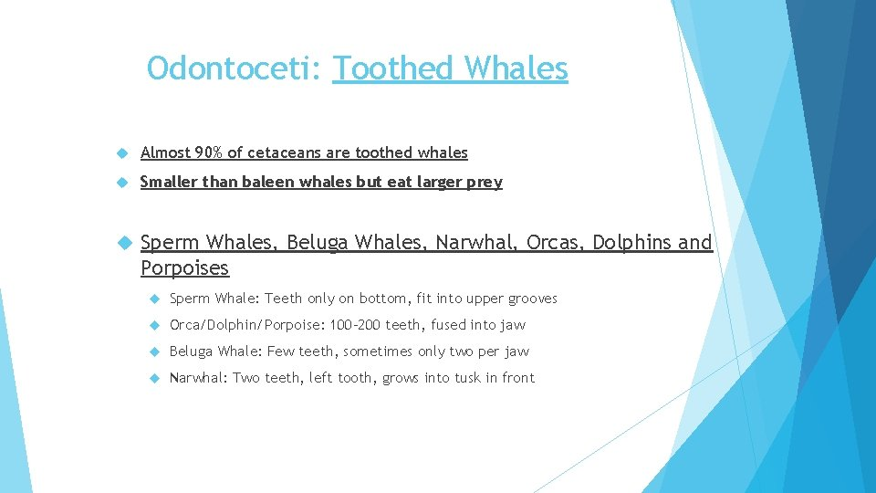 Odontoceti: Toothed Whales Almost 90% of cetaceans are toothed whales Smaller than baleen whales