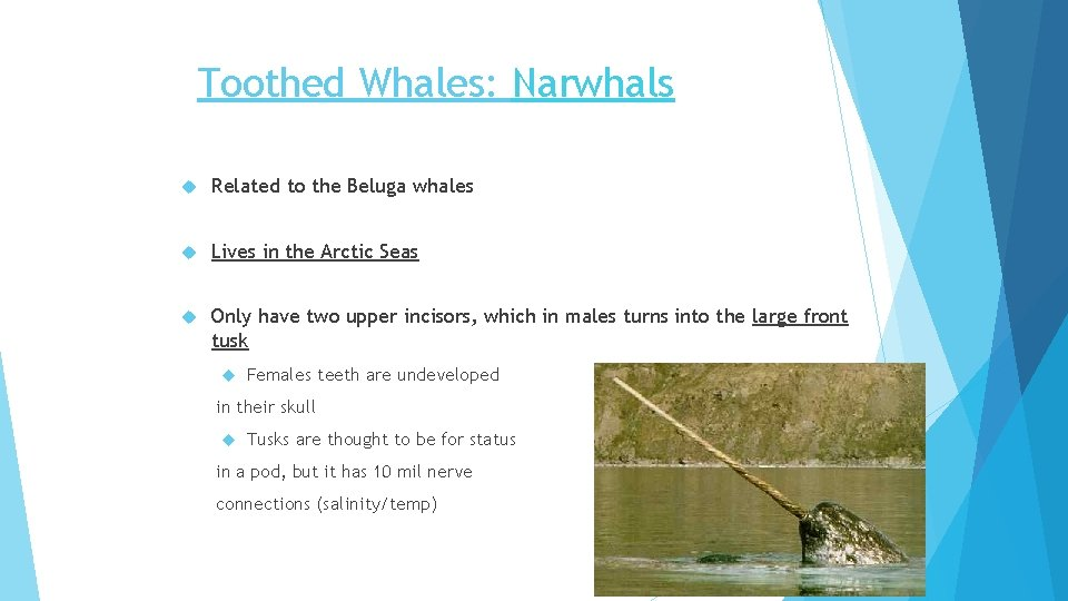 Toothed Whales: Narwhals Related to the Beluga whales Lives in the Arctic Seas Only