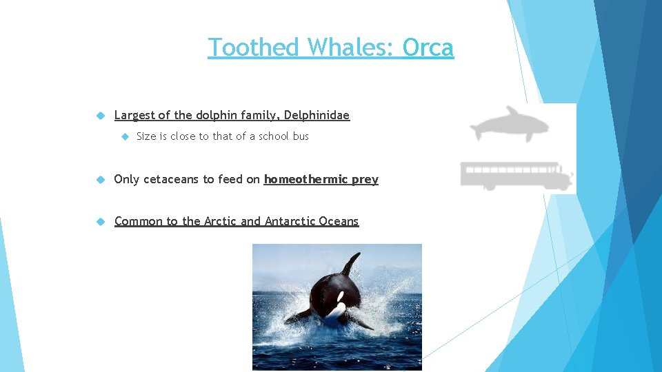 Toothed Whales: Orca Largest of the dolphin family, Delphinidae Size is close to that