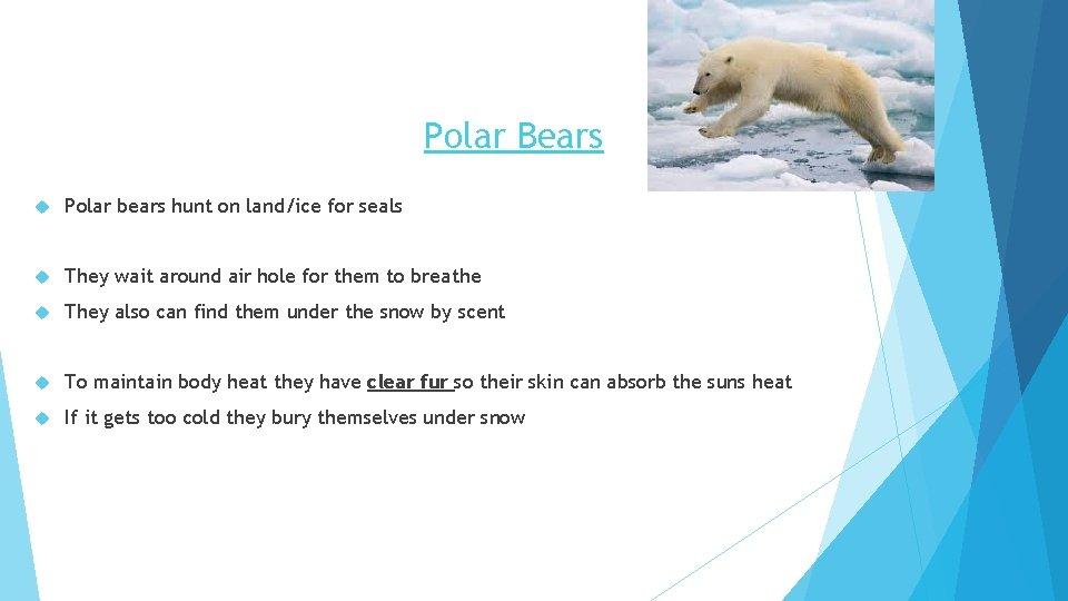 Polar Bears Polar bears hunt on land/ice for seals They wait around air hole