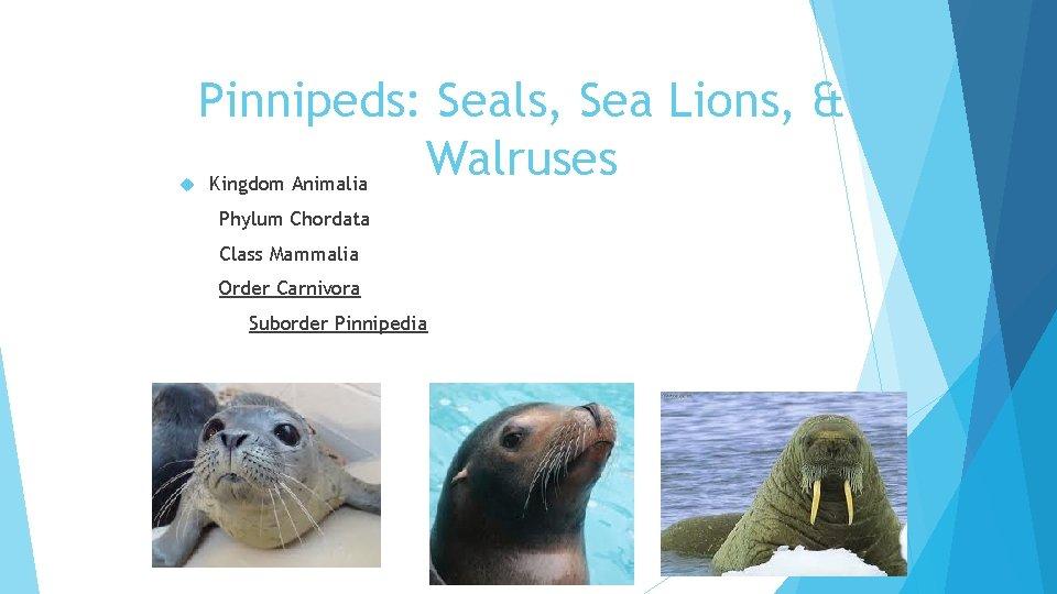 Pinnipeds: Seals, Sea Lions, & Walruses Kingdom Animalia Phylum Chordata Class Mammalia Order