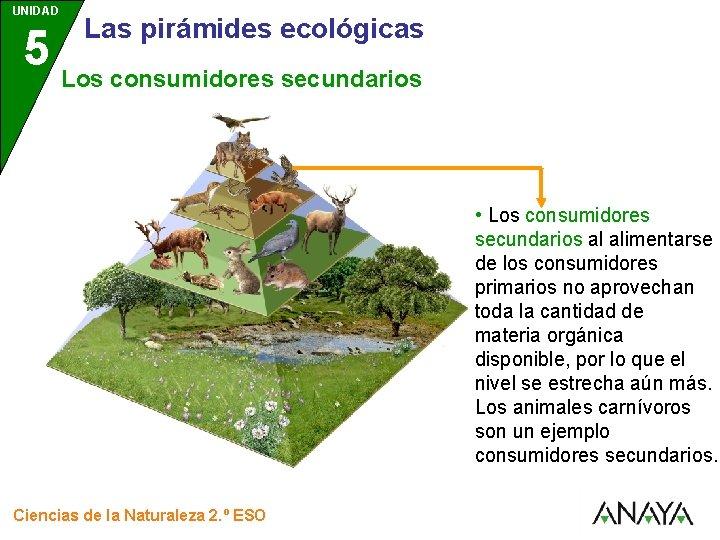 UNIDAD 5 Los ecosistemas LAS PIRMIDES ECOLGICAS Ciencias