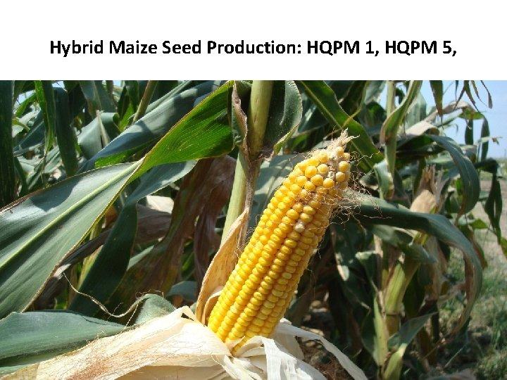 Hybrid Maize Seed Production: HQPM 1, HQPM 5,