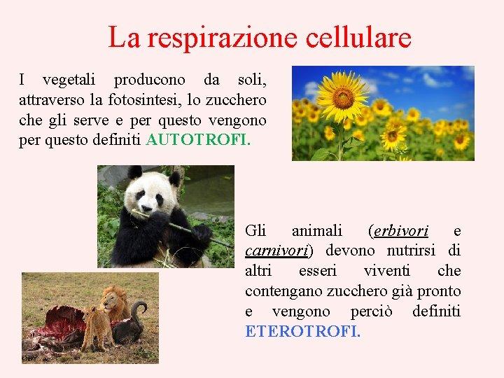 La respirazione cellulare I vegetali producono da soli, attraverso la fotosintesi, lo zucchero che