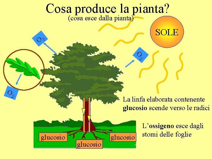 Cosa produce la pianta? (cosa esce dalla pianta) SOLE O 2 O 2 La