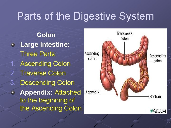 Parts of the Digestive System Colon Large Intestine: Three Parts: 1. Ascending Colon 2.