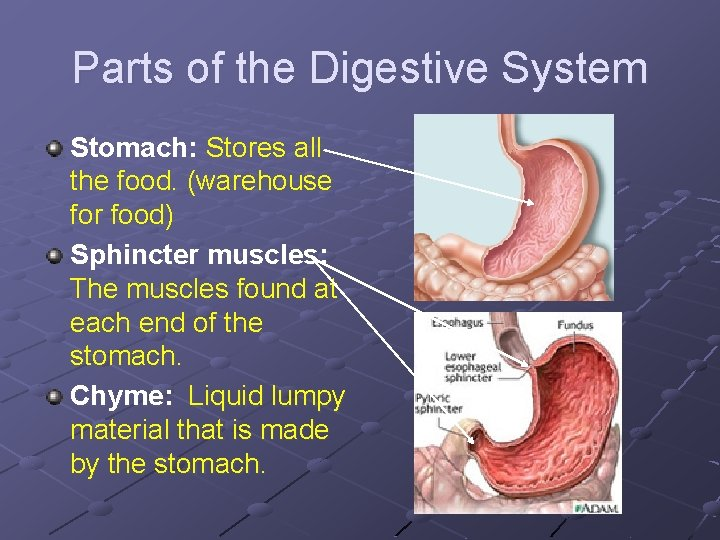 Parts of the Digestive System Stomach: Stores all the food. (warehouse for food) Sphincter