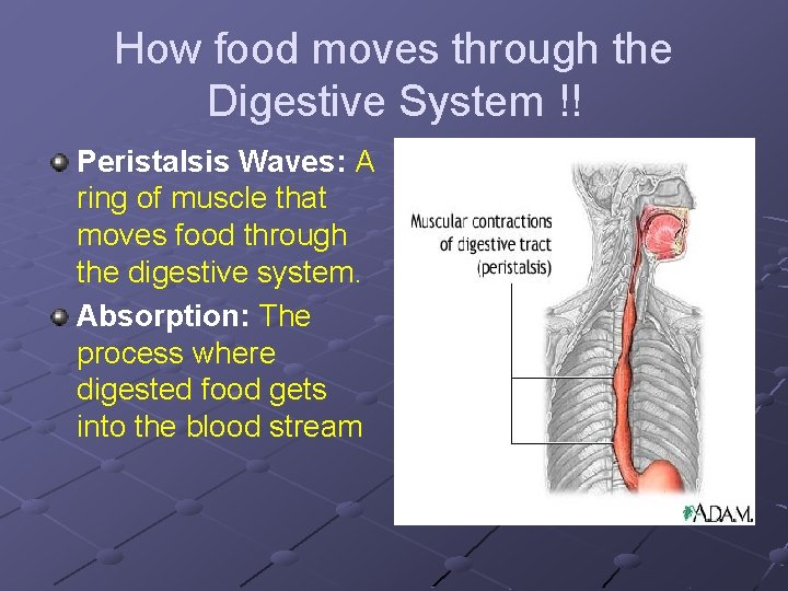 How food moves through the Digestive System !! Peristalsis Waves: A ring of muscle