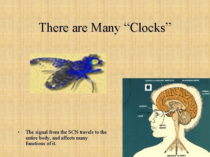 """There are Many """"Clocks"""" • The signal from the SCN travels to the entire"""