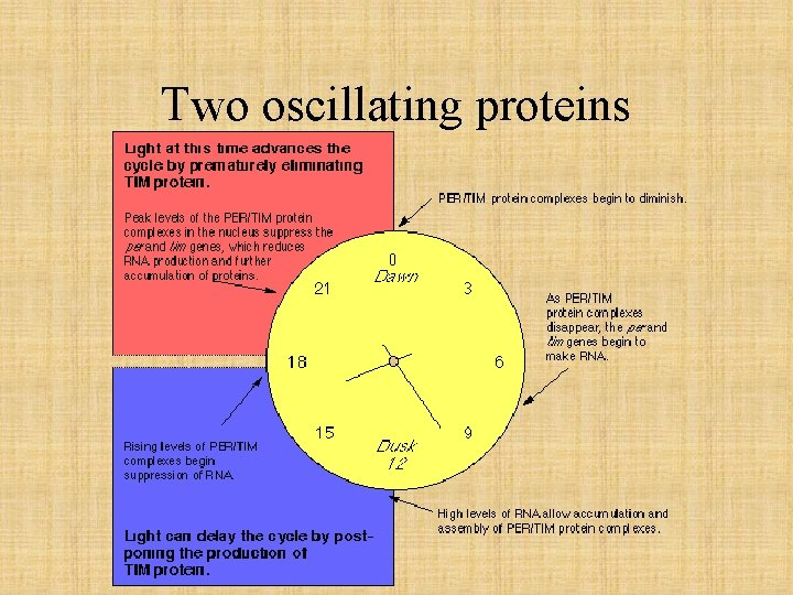 Two oscillating proteins