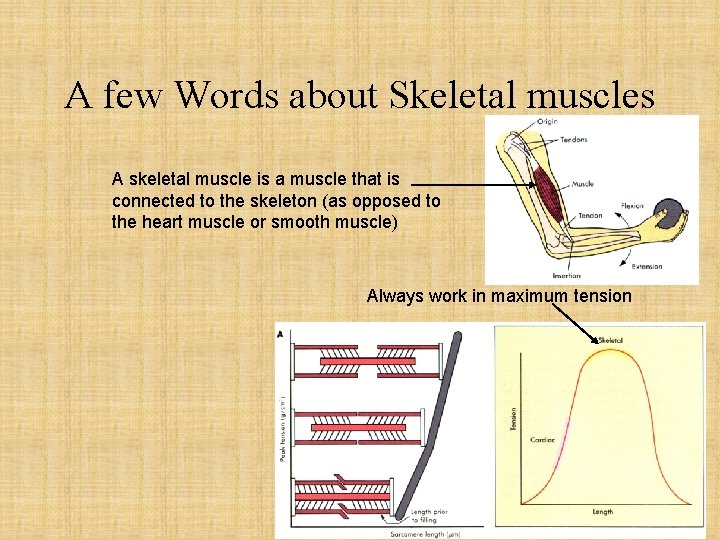 A few Words about Skeletal muscles A skeletal muscle is a muscle that is