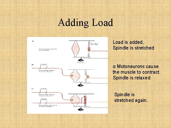 Adding Load is added, Spindle is stretched α Motoneurons cause the muscle to contract.
