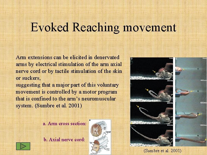 Evoked Reaching movement Arm extensions can be elicited in denervated arms by electrical stimulation