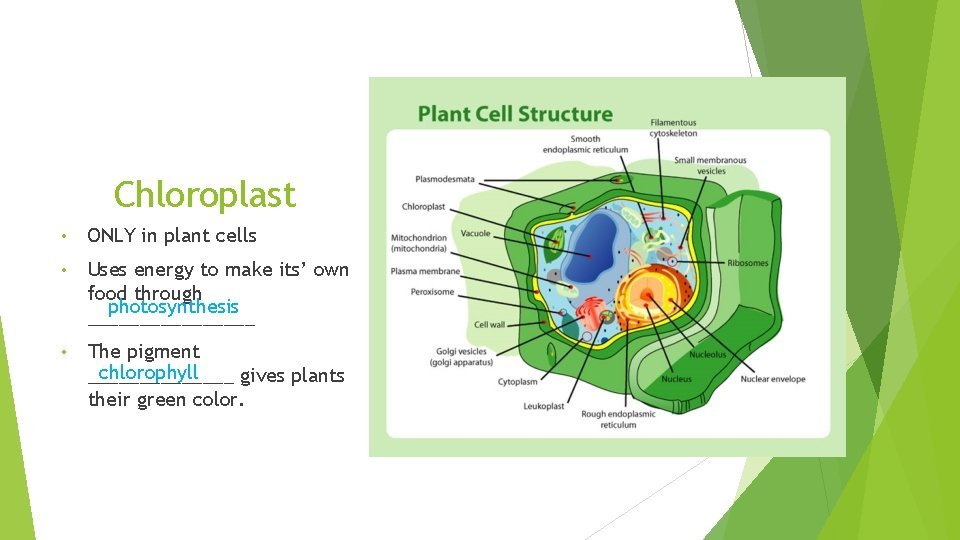 Chloroplast • ONLY in plant cells • Uses energy to make its' own food