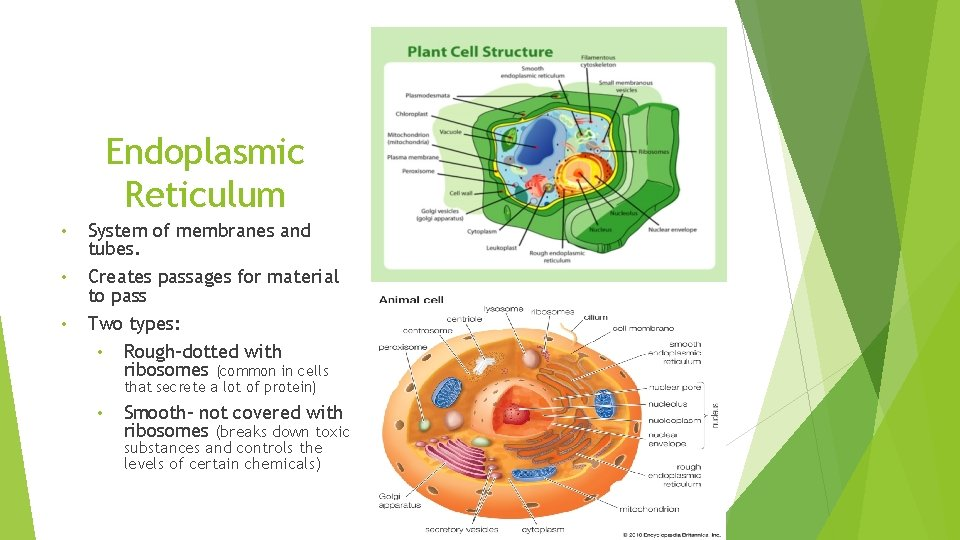 Endoplasmic Reticulum • • • System of membranes and tubes. Creates passages for material