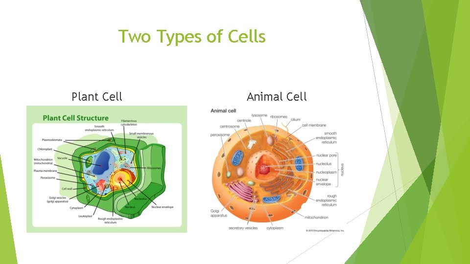 Two Types of Cells Plant Cell Animal Cell
