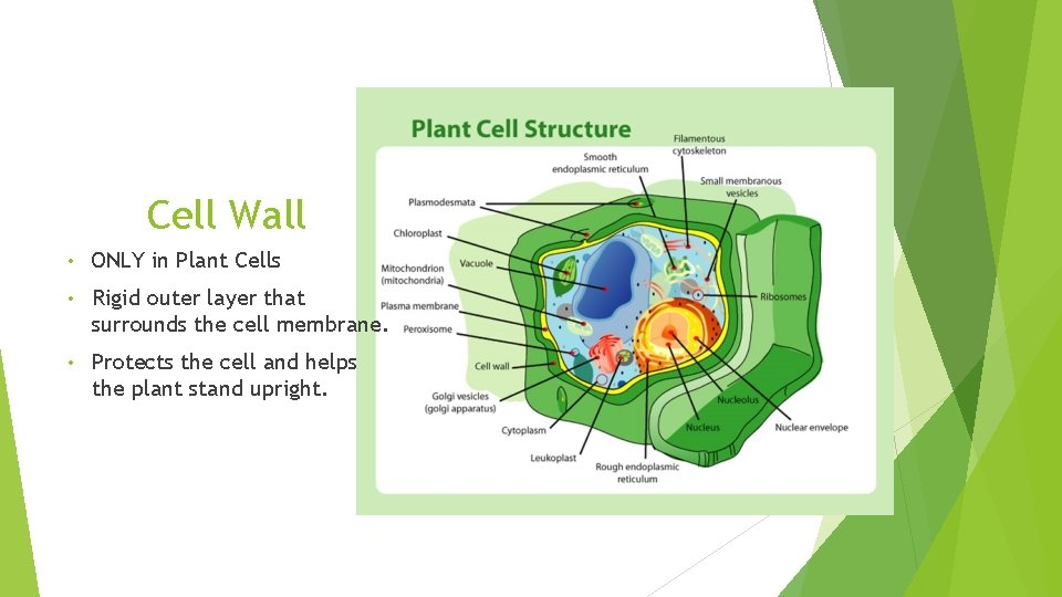 Cell Wall • ONLY in Plant Cells • Rigid outer layer that surrounds the