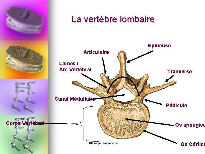 La vertèbre lombaire Epineuse Articulaire Lames / Arc Vertébral Tranverse Canal Médullaire Pédicule Corps