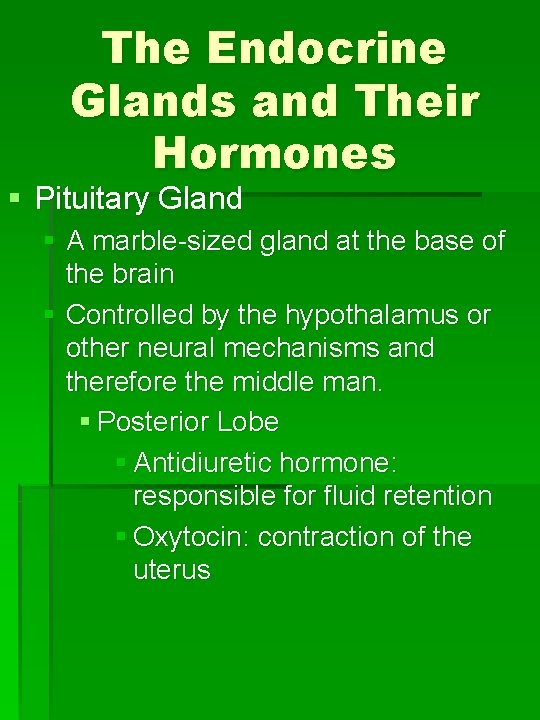 The Endocrine Glands and Their Hormones § Pituitary Gland § A marble-sized gland at