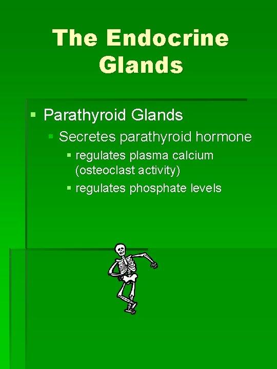 The Endocrine Glands § Parathyroid Glands § Secretes parathyroid hormone § regulates plasma calcium