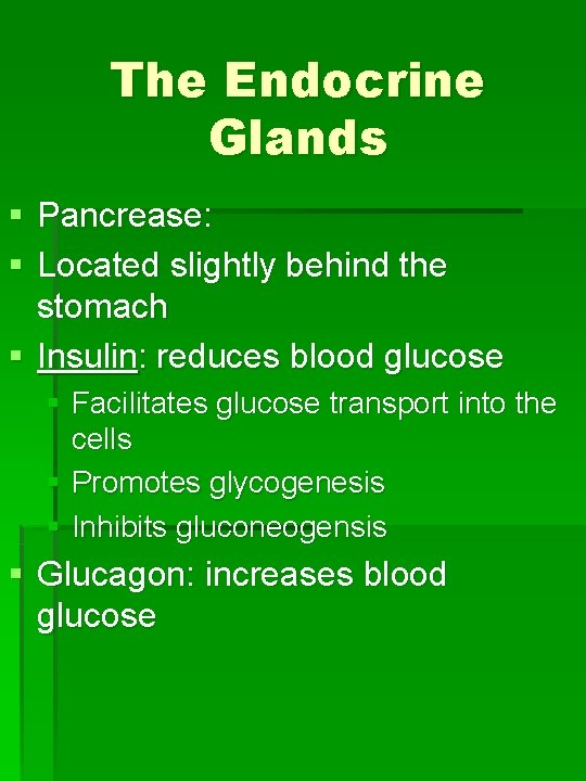 The Endocrine Glands § Pancrease: § Located slightly behind the stomach § Insulin: reduces