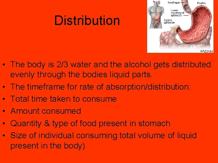 Distribution • The body is 2/3 water and the alcohol gets distributed evenly through