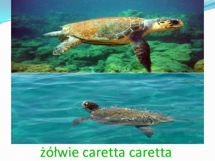 żółwie caretta