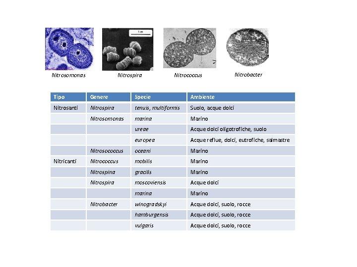 Nitrosomonas Nitrospira Nitrococcus Nitrobacter Tipo Genere Specie Ambiente Nitrosanti Nitrospira tenuis, multiformis Suolo, acque