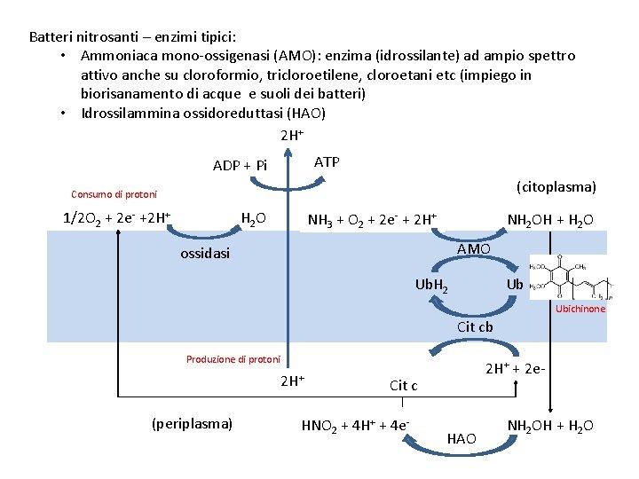 Batteri nitrosanti – enzimi tipici: • Ammoniaca mono-ossigenasi (AMO): enzima (idrossilante) ad ampio spettro