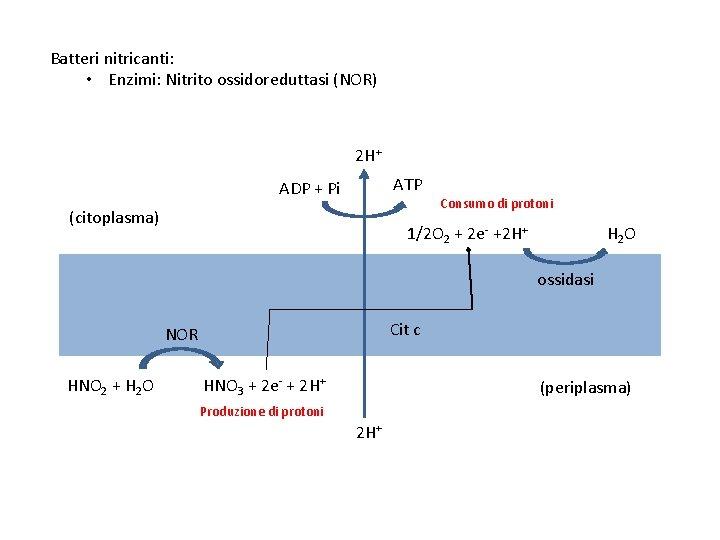 Batteri nitricanti: • Enzimi: Nitrito ossidoreduttasi (NOR) 2 H+ ATP ADP + Pi (citoplasma)
