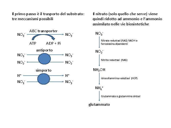 Il primo passo è il trasporto del substrato: tre meccanismi possibili NO 3 -