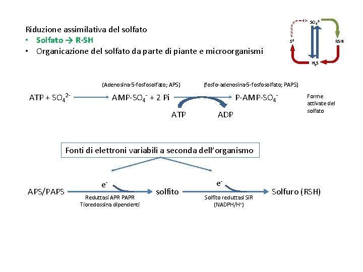 SO 42 - Riduzione assimilativa del solfato • Solfato → R-SH • Organicazione del