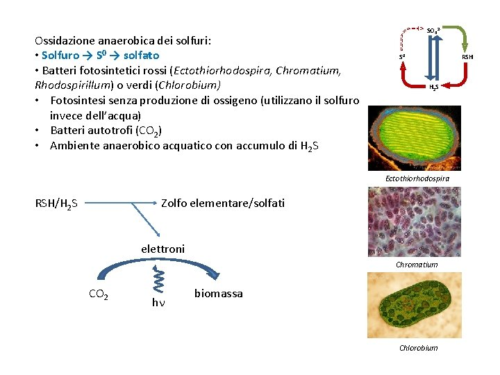 Ossidazione anaerobica dei solfuri: • Solfuro → S 0 → solfato • Batteri fotosintetici