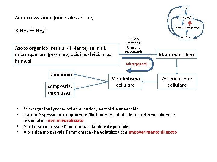 N 2 Ammonizzazione (mineralizzazione): NH 3/NH 4+ Azoto organico (R-NH 2) R-NH 2 →
