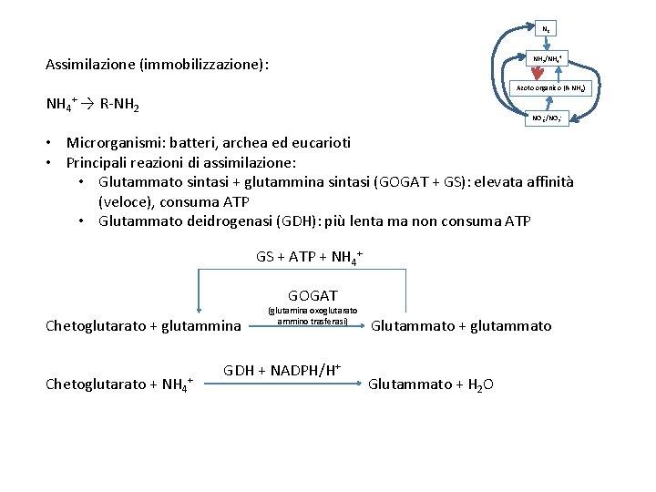 N 2 Assimilazione (immobilizzazione): NH 3/NH 4+ Azoto organico (R-NH 2) NH 4+ →