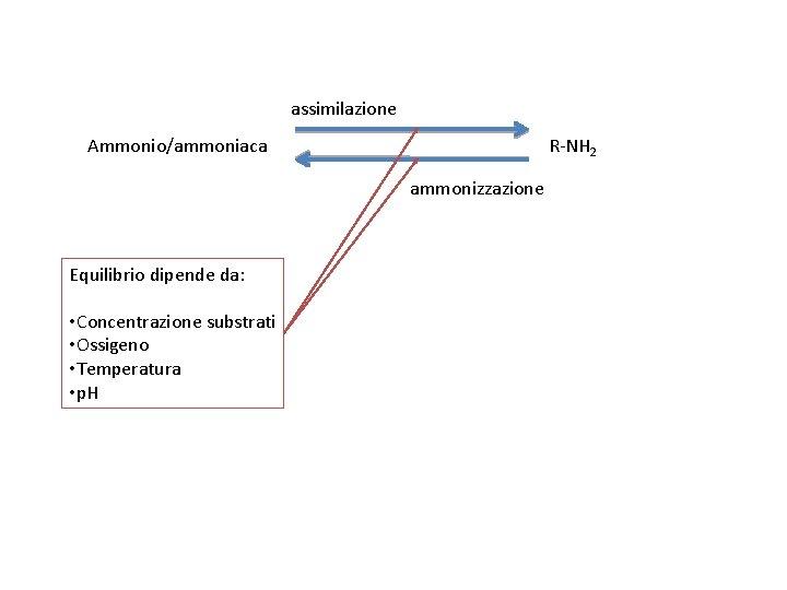 assimilazione Ammonio/ammoniaca R-NH 2 ammonizzazione Equilibrio dipende da: • Concentrazione substrati • Ossigeno •