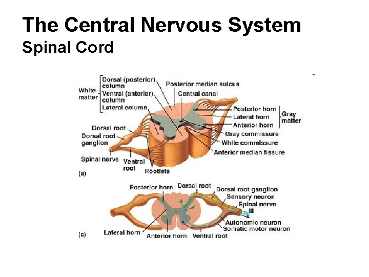 The Central Nervous System Spinal Cord