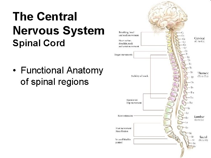 The Central Nervous System Spinal Cord • Functional Anatomy of spinal regions