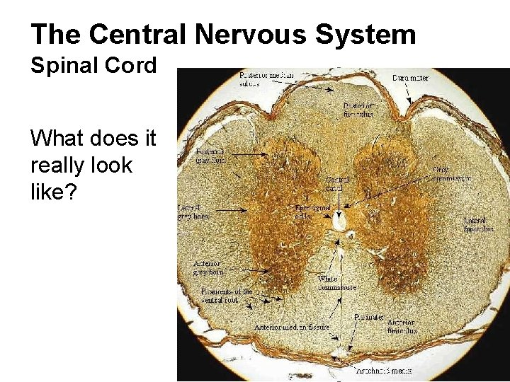 The Central Nervous System Spinal Cord What does it really look like?
